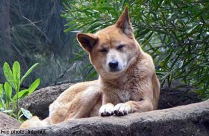 australian infant attacked by dingoes