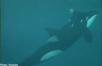 Video reveals vicious attack by killer whale