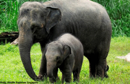 Singapore Zoo Elephant To Celebrate 1st Birthday