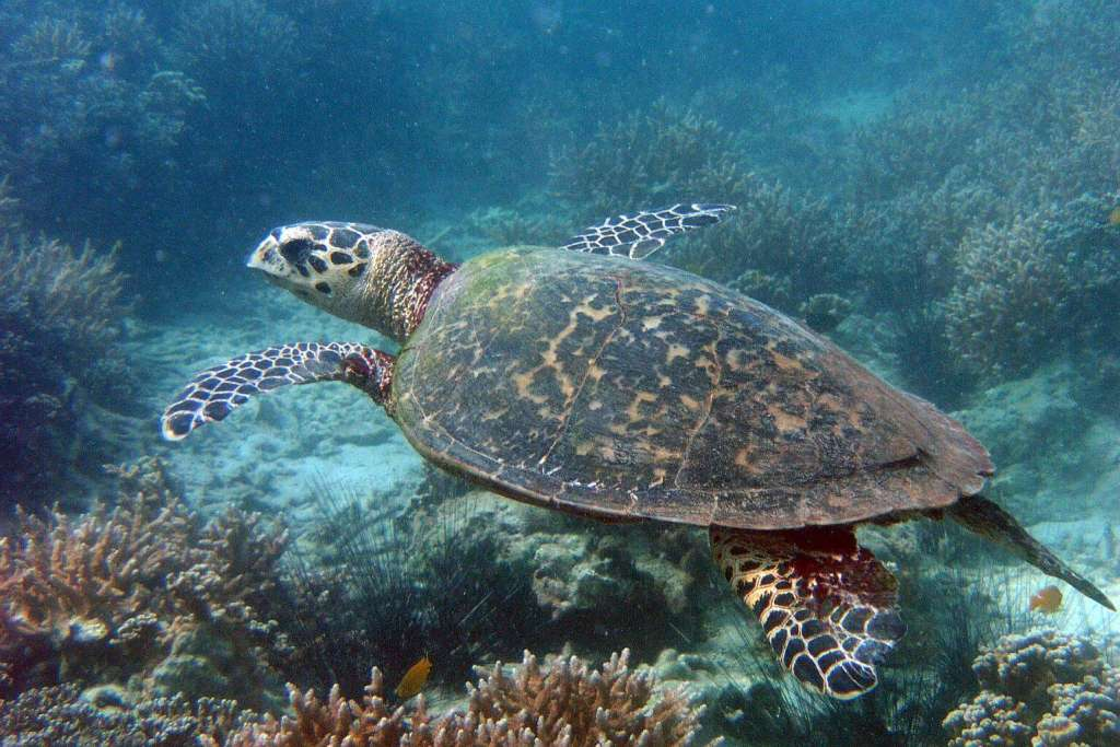 a study of the sea turtle The green sea turtle gets its name not from the color of its shell (which is typically brown, gray, black and yellow) but from the greenish shade of its fat.