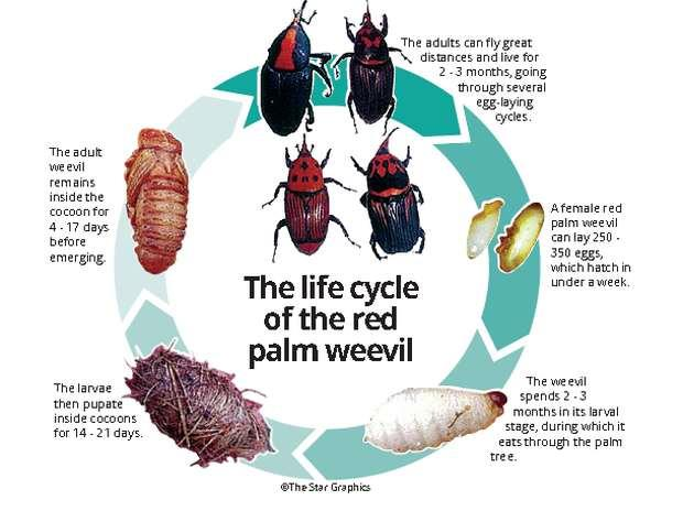 Beetle species in Malaysia could potentially destroy palm