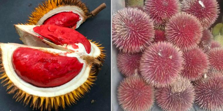 Durian kulit merah dan durian daging merah koleksi Aziz