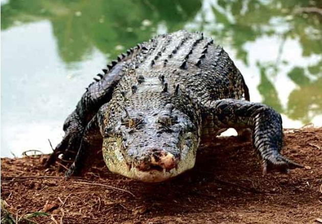 Crocodile Shaman Killed by Crocodile