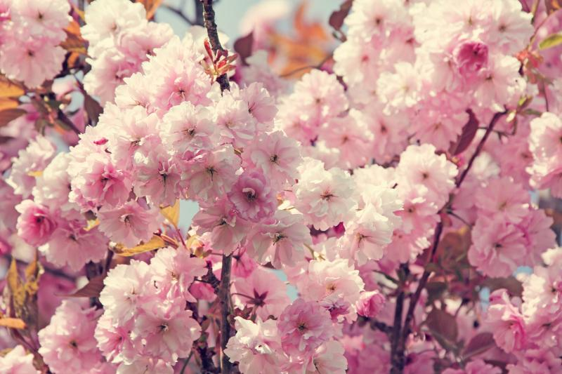 When and where to see cherry blossoms in Korea during ...