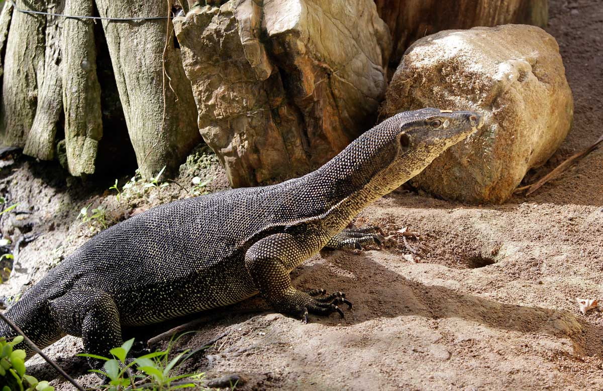 Monitor lizards sighted in bizarre places: Here's where and