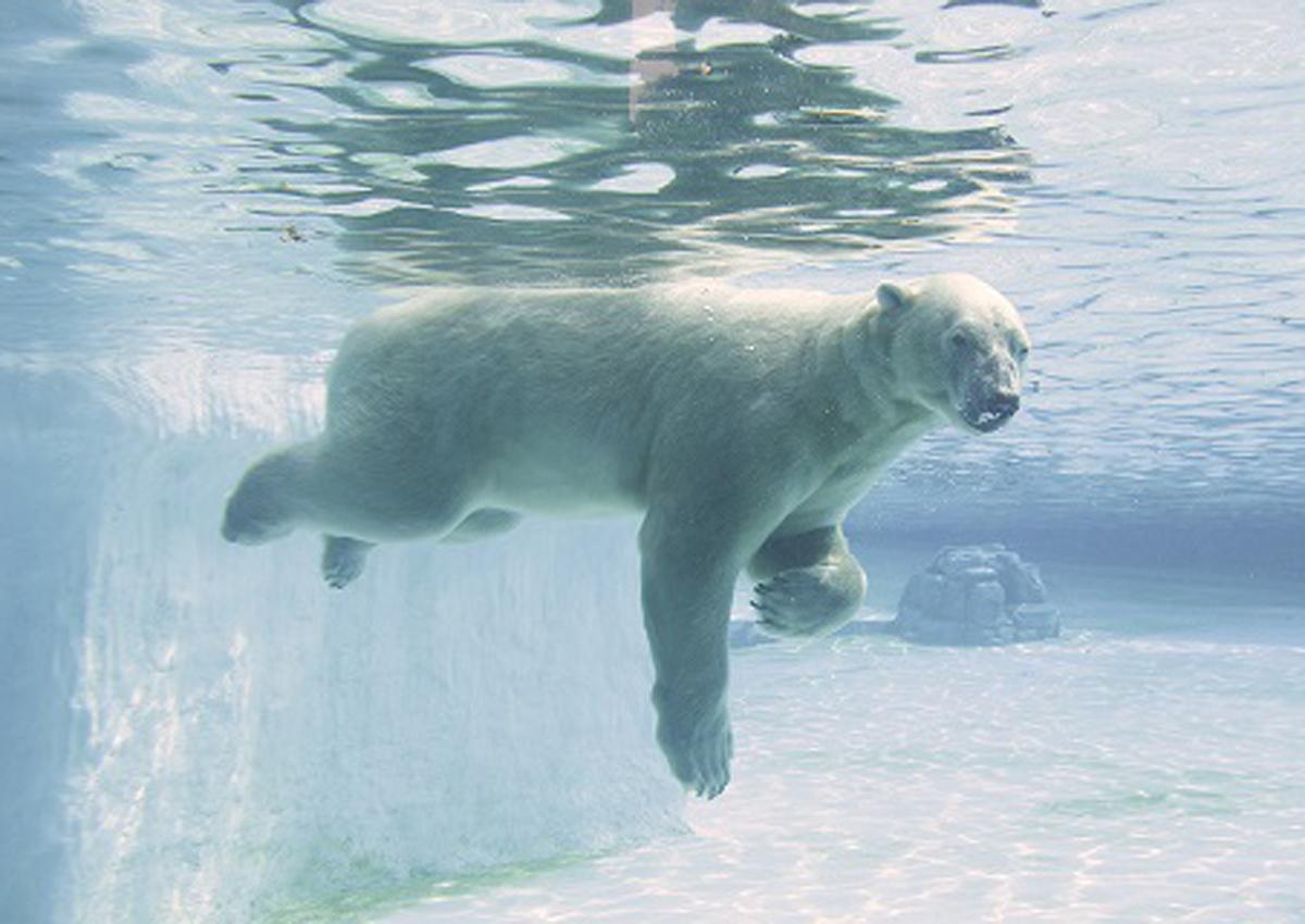 Singapore Zoo's 27-year-old polar bear Inuka may be put down