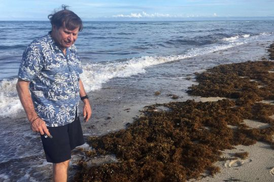 Beaches choked with stinky seaweed could be the new normal, World