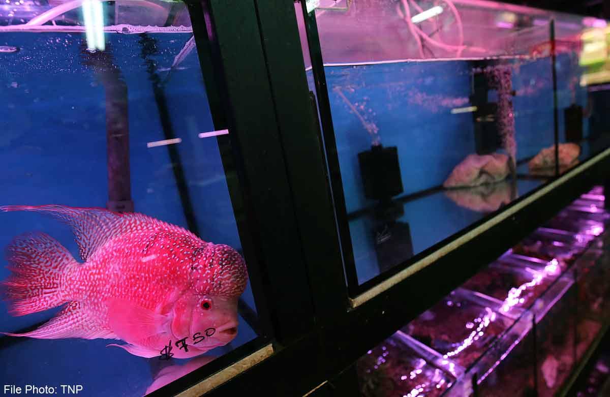 Pet Fish Shops Struggling To Hook Customers Singapore News Asiaone