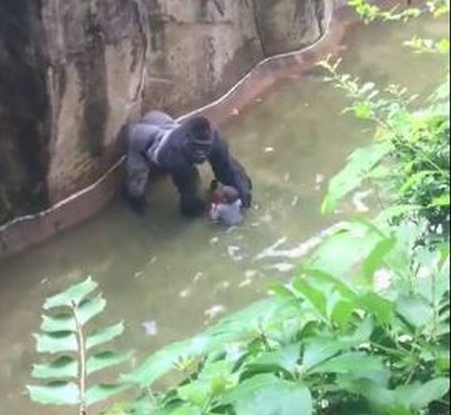 963036b396b Former zookeeper says gorilla appeared aggressive