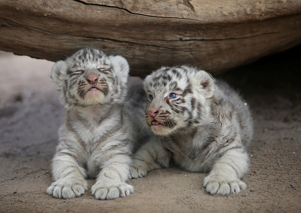 Tiger cubs with father and mother