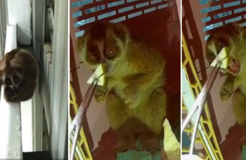 Slow loris finds itself stranded far away from home... at Yishun carpark