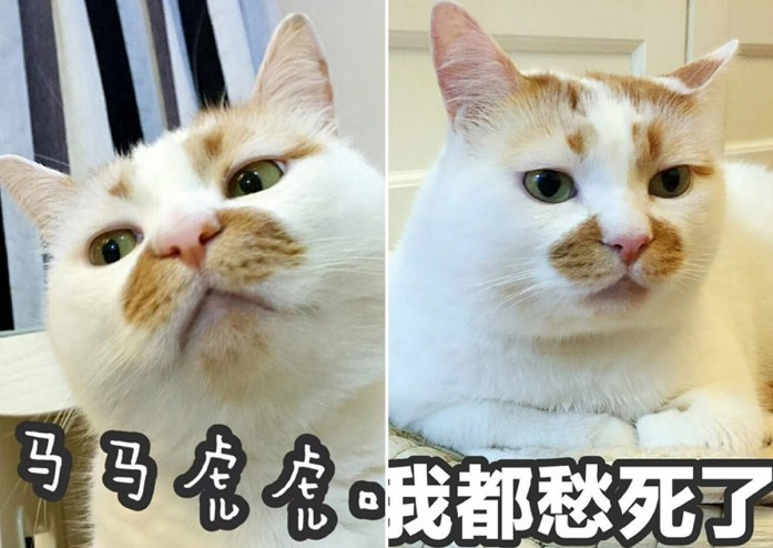 Chinese Internet Cat Sensation Passes Away