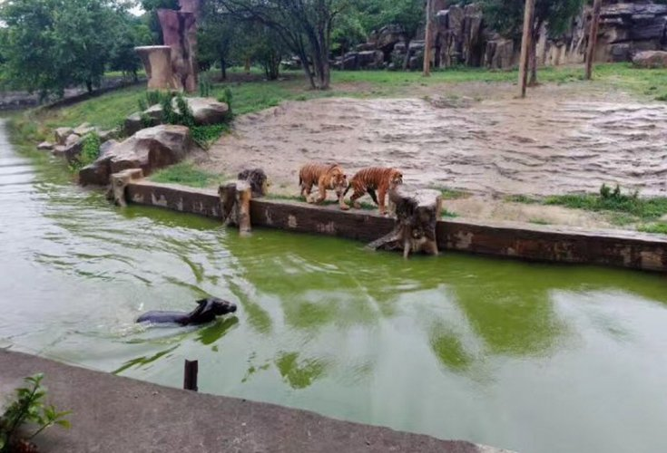 Live donkey thrown into tiger enclosure by disgruntled shareholders of Chinese zoo