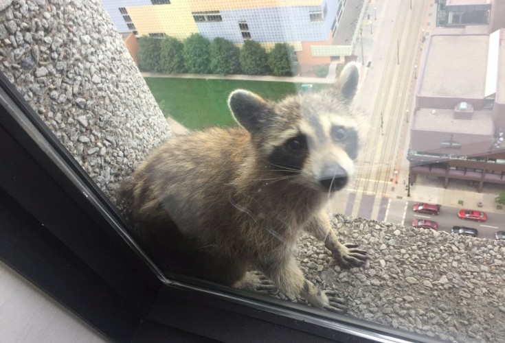 Paul raccoon reaches roof after scaling downtown tower