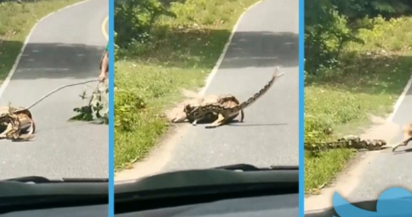 Thai netizens divided over propriety of man's action to save deer from python, Asia News - AsiaOne