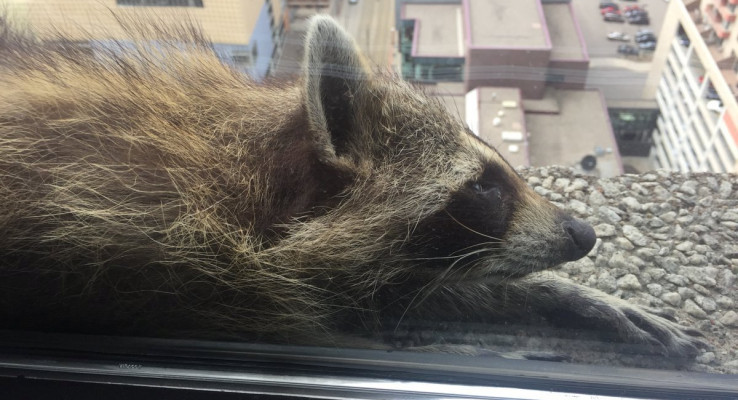 Racoon's climb up 25-storey building has netizens on