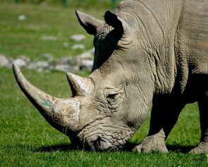 Nepal's prime minister KP Sharma Oli has had it with the world using the word rhino
