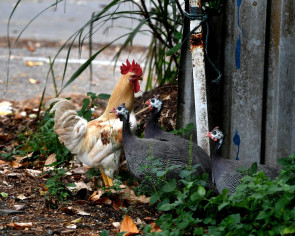 Free-ranging chickens may be culled