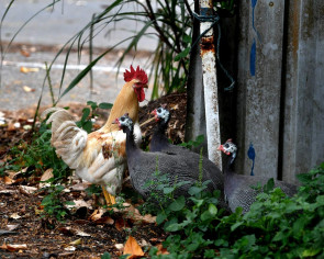 Chickens had to be culled due to health risks: Dr Koh