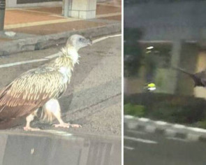 Huge Himalayan griffon vulture spotted at Peck Seah Street in rare sighting
