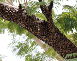 Swarm thing: Bees form growing hive on tree