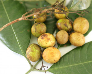 Traditional Malaysian local fruits are going extinct