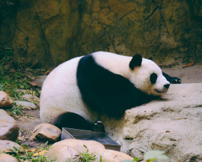 Beijing Zoo promises to improve security after visitors throw stones at giant panda