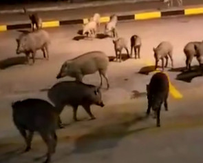 Large herd of wild boars spotted exploring Tuas bus interchange