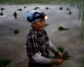To beat the heat, Vietnam rice farmers resort to planting at night