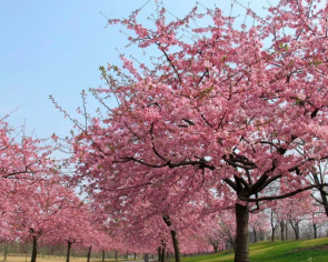 Closed Shanghai garden holds live-streaming sessions to showcase cherry blossoms