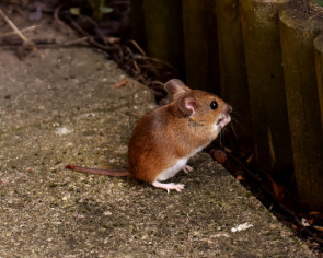 'Ghost' tidying up man's shed turns out to be a mouse