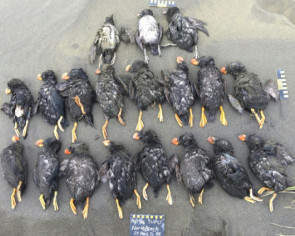 Climate change killing off Bering Sea puffins, say scientists