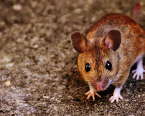 Scientists give mice the power to see in the dark