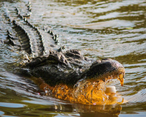 Indonesian girl dies after crocodile snatches her when swimming in river