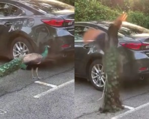 Fowl play: Wild peacock attacks innocent vehicle in Singapore car park after seeing its own reflection