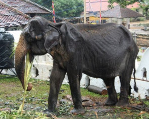 Skeletal elephant dies in Sri Lanka weeks after parade outcry