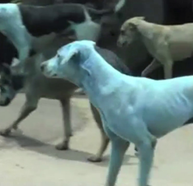 WATCH: Why stray dogs in Mumbai are turning blue
