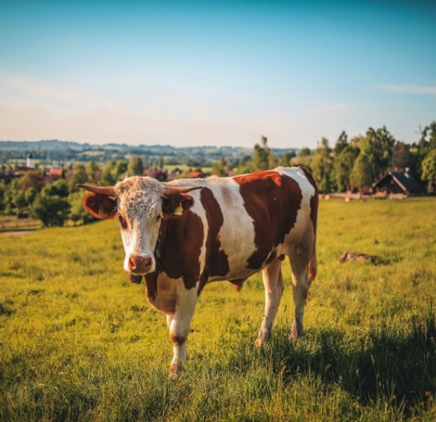 Can cows catch coronavirus? German study suggests yes - but no link to beef