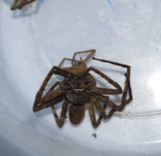 Fears rise about venomous spiders in Krabi after girl, 8, is stung