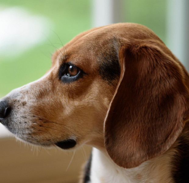New study finds dogs are 97 percent accurate when sniffing out lung cancer