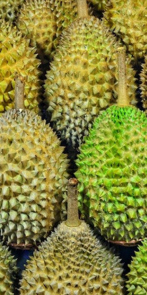 Malaysia plantation has durians fully booked even before ripening