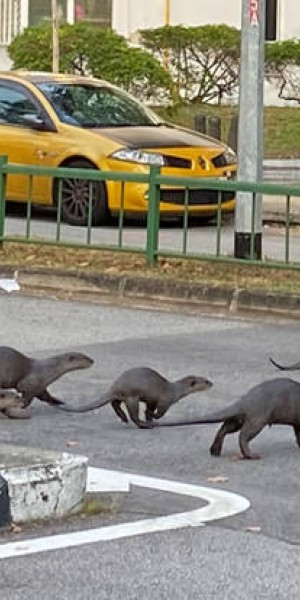 Why did the otters cross the road in Tiong Bahru?
