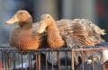 Intensive Dutch animal farms seen vulnerable to disease