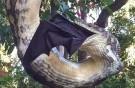 Python devours giant bat