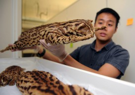 Critically endangered leopard cats thriving on Tekong