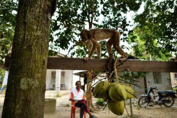 Coconut thrown by monkey kills woman