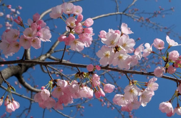 Cherry blossom branches stolen from Japanese park