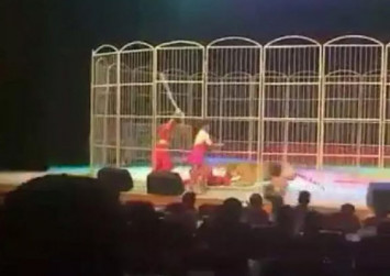 Exhausted tiger attacks trainer during circus performance in China