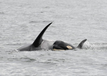Grieving killer whale carries dead calf for over 2 weeks