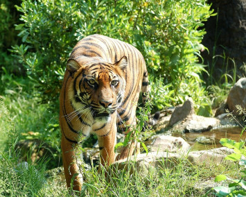 Indonesian man mauled to death in tiger attack